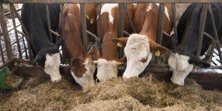 Строка коров Гольштейна подает от высушенной травы внутри амбара на голландской ферме в Голландии Стоковые Фотографии RF