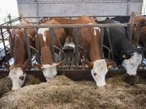 Строка коров Гольштейна подает от высушенной травы внутри амбара на голландской ферме в Голландии Стоковые Изображения