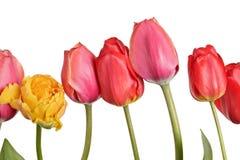 Строка красивого красочного тюльпана изолированного на белой предпосылке Стоковые Фотографии RF