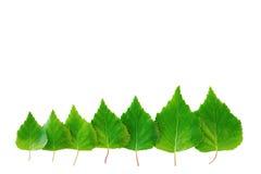 Строка молодых листьев весны изолированных на белой предпосылке Стоковое Изображение RF