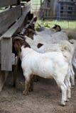 Строка нескольких коз есть в амбаре Стоковая Фотография