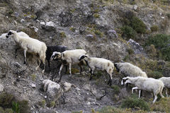 Строка овец на пути горы Стоковые Изображения