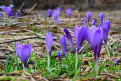 Строка одичалых saffrons в поле Стоковая Фотография RF