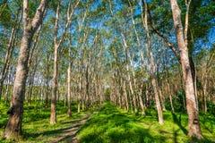 Строка резинового дерева с голубым небом Стоковое Фото