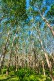 Строка резинового дерева с голубым небом Стоковые Фотографии RF