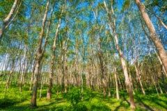 Строка резинового дерева с голубым небом Стоковые Изображения RF