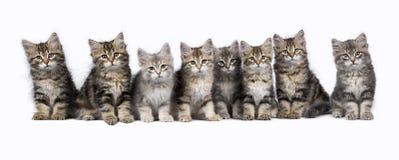 Строка сибирского кота/котят леса изолированных на белой предпосылке Стоковые Фотографии RF