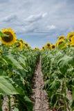 Строка солнцецвета Стоковое фото RF