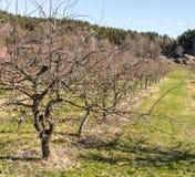 Строка старых, нагих яблонь весной, растущ на земле травы стоковое изображение rf