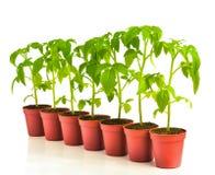 Строка томата сеянца в баках Стоковые Фото