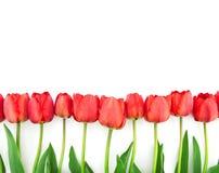 Строка тюльпанов изолированных на белой предпосылке с космосом для текста Стоковая Фотография