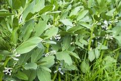 Строка фасолей в саде Листья зеленого цвета и цветки фасолей Всходы зеленого цвета фасолей Стоковая Фотография