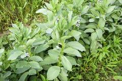 Строка фасолей в саде Листья зеленого цвета и цветки фасолей Всходы зеленого цвета фасолей Стоковая Фотография RF
