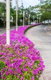 Строка цветка бугинвилии Стоковое Изображение RF