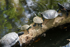 Строка черепах грея на солнце на журнале Стоковое фото RF