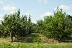 Строка яблоневого сада Стоковое Изображение RF