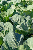 Строки белой капусты Стоковая Фотография RF