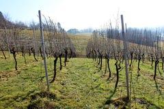 Строки виноградника на холодный солнечный зимний день Стоковые Изображения