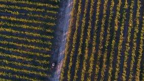 Строки виноградника перед сбором, взглядом трутня Стоковое Изображение