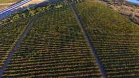 Строки виноградника перед сбором, взглядом трутня Стоковое фото RF