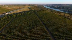 Строки виноградника перед сбором, взглядом трутня Стоковые Изображения RF