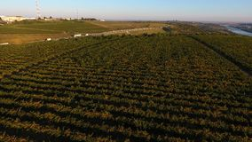 Строки виноградника перед сбором, взглядом трутня Стоковые Фото