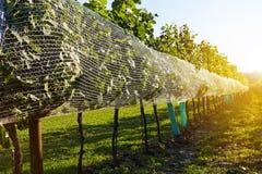Строки виноградников в лете Стоковые Фотографии RF