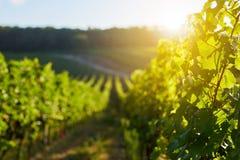 Строки виноградного вина в винограднике Стоковые Изображения RF