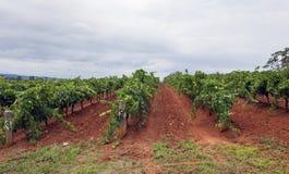 Строки виноградной лозы с облачным небом стоковые фото
