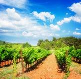 Строки виноградника зеленые Стоковое Изображение RF