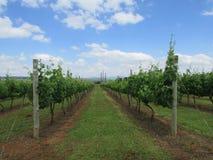 Строки виноградника с облаками в небе Стоковое Изображение