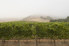 Строки виноградника Стоковые Фото