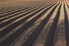 Строки в поле картошки стоковое фото