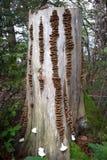 Строки грибка кронштейна на пне дерева Стоковое Фото