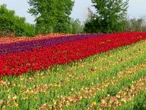 Строки других цветов тюльпанов в поле Стоковые Фото