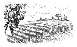 Строки заводов виноградины виноградника иллюстрация вектора