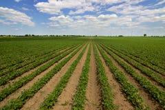 Строки зеленых соь против голубого неба Соя fields строки Стоковое Изображение