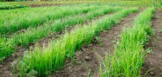 Строки зеленых луков Стоковые Фото
