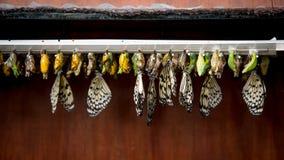 Строки коконов бабочки и насиженной бабочки Стоковые Фото