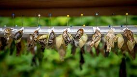 Строки коконов бабочки и насиженной бабочки Стоковая Фотография RF
