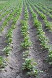 Строки молодой картошки Стоковая Фотография RF