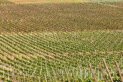 Строки молодых виноградин в сельской местности Стоковое Изображение