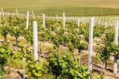 Строки молодых виноградин в сельской местности Стоковые Фото