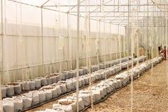 Строки молодых заводов гераниума в парнике Udonthani Стоковое Изображение RF