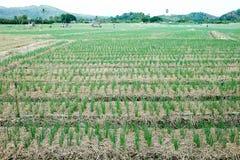 Строки на поле луков весны Стоковое Изображение