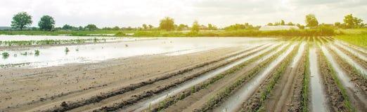 Строки овоща затопленные с водой Поток в сельской местности и поднимая осадках уровня воды и тяжелых Сбор потери стоковое изображение