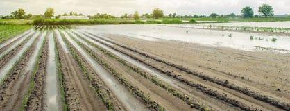 Строки овоща затопленные с водой Поток в сельской местности и поднимая осадках уровня воды и тяжелых Сбор потери стоковые фотографии rf