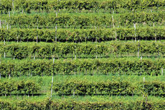 Строки лоз в холмах Prosecco, Италии стоковые изображения