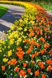 Строки оранжевых тюльпанов и daffodils вдоль пути Стоковые Фотографии RF