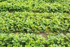 Строки органических клубник Домашнее культивирование стоковое изображение rf